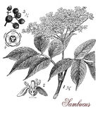 Sambucus, botanical vintage engraving. Vintage print describing Elderberry or sambucus plant botanical morphology:ornamental plant with white flowers, the Royalty Free Stock Photo