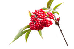 Sambucus Royalty Free Stock Photo