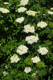 Sambucus Stock Photography