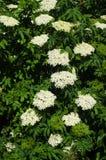Sambucus. Detail of a flower of a elderberry Stock Photography