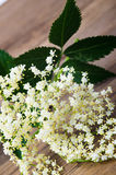Sambucus Stock Photo
