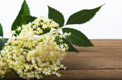 Sambucus Royalty Free Stock Images