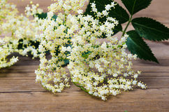 Sambucus Stock Photos