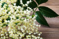 Sambucus Royalty Free Stock Photography