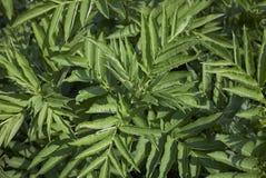 Sambucus ebulus fresh foliage stock photos