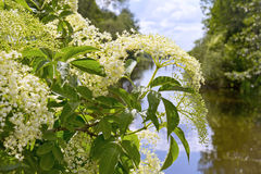 Sambucus (elder or elderberry) Royalty Free Stock Photography