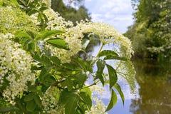 Sambucus (elder or elderberry) Royalty Free Stock Photography