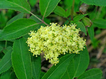 Sambucus (or elderberry) Stock Photo
