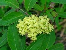 Sambucus (or elderberry) Stock Photo