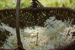 Sambucus fresco do negro, flores mais velhas pretas em uma cesta de madeira velha fotografia de stock royalty free