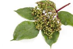 Sambucus nigra Royalty Free Stock Images