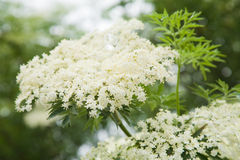 Sambucus Nigra; (Black Elder) Royalty Free Stock Photos