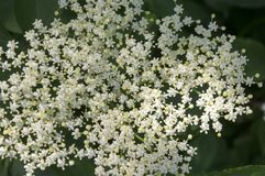 Sambucus nigra in bloom, lots of small white flower. Detail of healthy flower Royalty Free Stock Photography