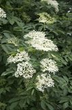 Sambucus nigra in bloom, lots of small white flower. Healthy herb Stock Photos