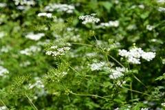 Sambucus nigra - bourtree Fotografia Royalty Free