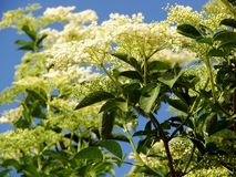 Sambucus nigra or common elder Stock Photography