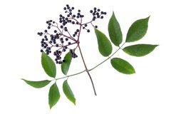 Sambucus nigra. Common names include elder, elderberry, black elder, European black elderberry on white Royalty Free Stock Photography