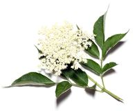Sambucus nigra - Elder Royalty Free Stock Photo