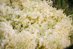 Sambucus nigra or elder. Making a natural elder flower syrup Stock Images
