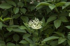 Sambucus nigra or elder Royalty Free Stock Photo