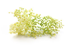 Sambucus nigra, elderberry na białym tle Obraz Royalty Free