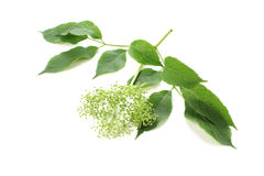 Sambucus nigra, elderberry pączek Zdjęcie Stock
