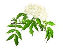 Free Sambucus Nigra Flowering Shrub Isolated On A White Background. Common Names Include Elder, Elderberry, Black Elder, European Elder Royalty Free Stock Photography - 185075097