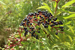 Sambucus nigra fruits Royalty Free Stock Photo
