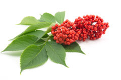 Sambucus. Red sambucus  with green leaves isolated on white background Stock Photos