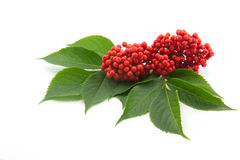 Sambucus. Red sambucus  with green leaves isolated on white background Stock Images