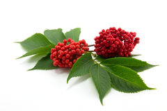 Sambucus. Red sambucus  with green leaves isolated on white background Royalty Free Stock Photo