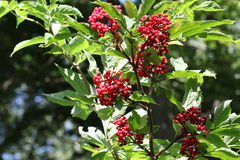 Sambucus. / Useful berries / Autumn time royalty free illustration