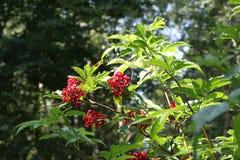Sambucus. / Useful berries / Autumn time vector illustration