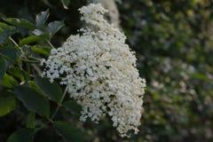 Sambucusnigra, Vlierbesbloemen stock afbeeldingen