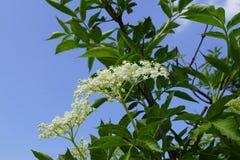 Sambucusnigra - witte bloei en blauwe hemel royalty-vrije stock afbeelding