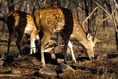 Sambur deer graze, Ranthambore, India royalty free stock photo