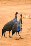samburu Кении guineafowl vulturine Стоковая Фотография
