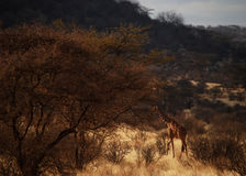 Samburu Giraffe Stock Images