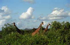 samburu réticulé de réserve du Kenya de giraffe de jeu Image stock