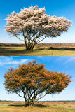 Same single tree in spring and autumn Royalty Free Stock Photography