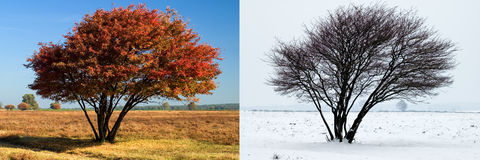 Same tree in summer and winter Royalty Free Stock Images