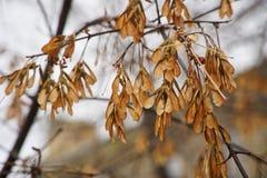Samen auf Ahornniederlassung im Herbstpark lizenzfreies stockfoto