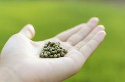 Samen der grünen Bohne an Hand Lizenzfreie Stockbilder
