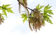 Samen-Hülsen, die am Baumast hängen Lizenzfreies Stockbild