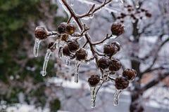 Samen-Hülsen eingehüllt im Eis - 2 lizenzfreie stockfotografie