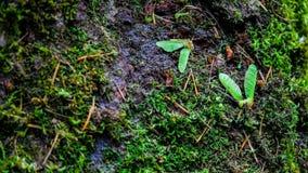 Samen vom pazifischen Nordwest-Forest Floor In Tolmie State Park Washington USA Ahorn-Tress Spread All Over Thes stockfoto