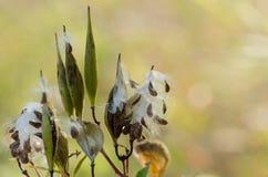 Samen von der Blume Lizenzfreie Stockfotos