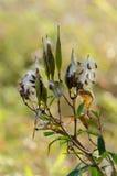 Samen von der Blume Stockbilder