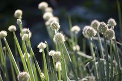 Samen von Frühlingszwiebeln stockfotos