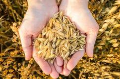 Samen von Hafern in der Palme Ihrer Hand Stockfotografie
